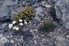 Tanacetum alpinum, Geum reptans, Linaria alpina and Saxifraga exarata ssp. ??