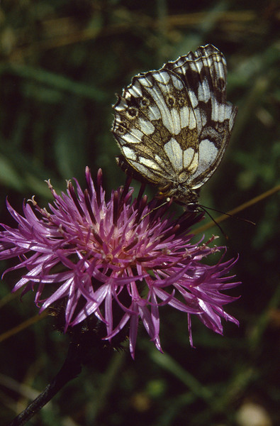 Melanargia galathea on Centaurea uniflora. (NL: dambordje op eenbloemige centaurie)