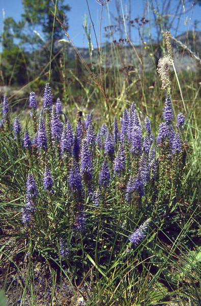 Pseudolysimachion spicatum,(Veronica spicata)