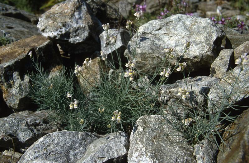 Linaria vulgaris (La Meije)