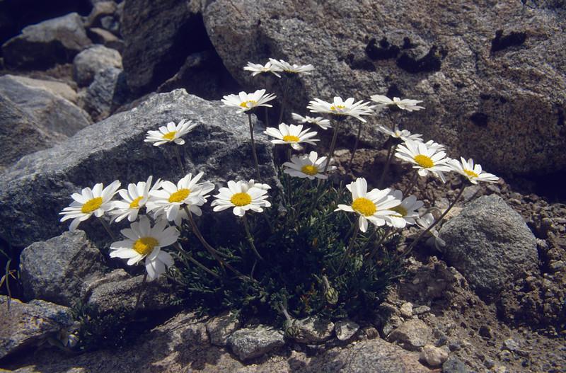 Tanacetum alpinum