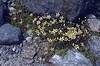 Saxifraga bryoides (slope near Glacier Blanc)