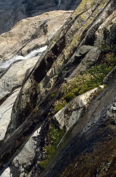 Micranthes stellaris (Saxifraga stellaris) (wet slope near Glacier Blanc)