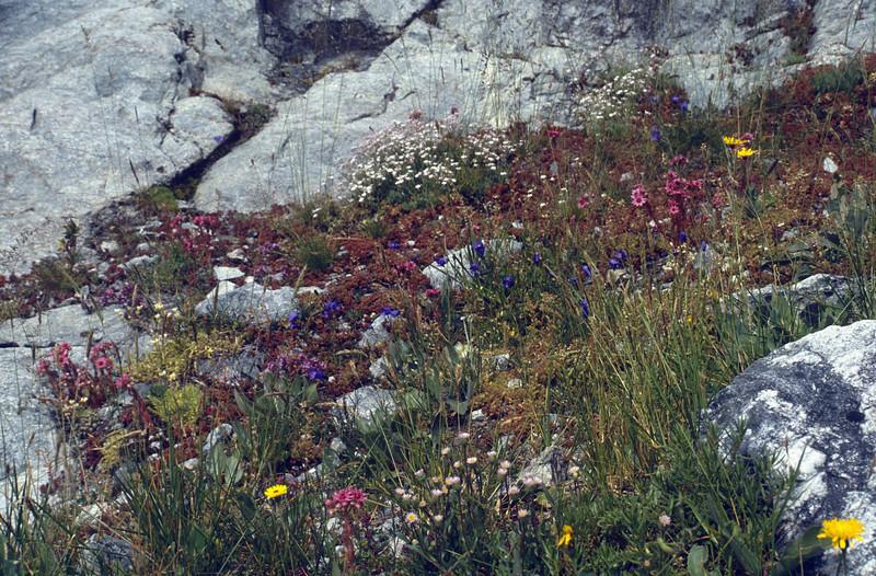 habitat with Sempervivum arachnodeum, Erigeron uniflora, Gypsophila repens and Campanula schreuzeri (above Glacier Blanc)
