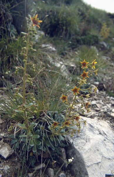 Saxifraga mutata (Cima Tombea 1950m)