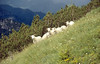 Sheep (Monte Tremalzo)