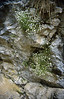 Petrorhagia saxifraga  (In limestone rocks beneath Cima Tombea)