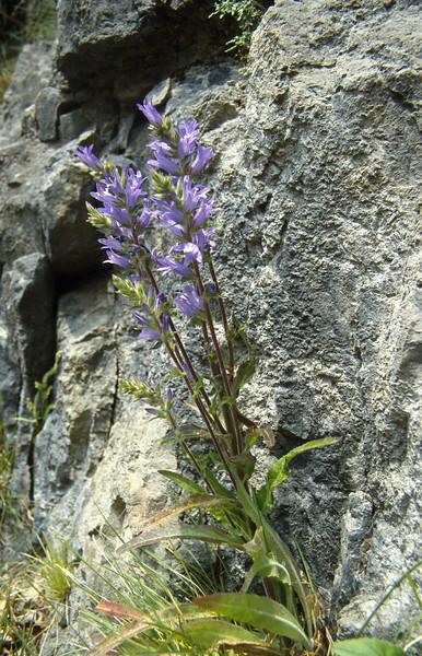Campanula thalictrum (Sentiero Antonioli)