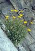 Inula ensifolia (NL: zwaardalant)(Passo di croce Dómini)