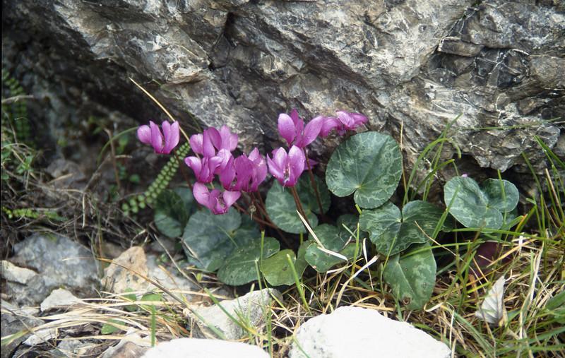 Cyclamen purpurascens (Cima Tombea)