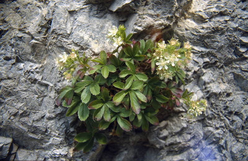 Potentilla caulescens  (Passo di croce Dómini)