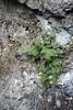 Saxifraga arachnoidea (Rocks beneath Cima Tombea)