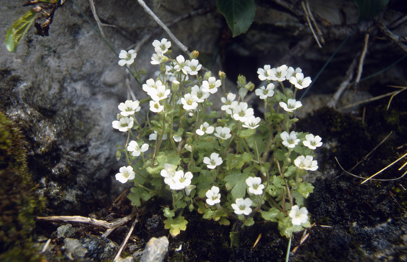 Saxifraga petraea (Crevices in limestone beneath Cima Tombea)