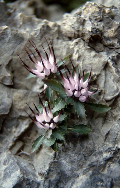 Physoplexis commosa (Passo di croce Dómini)