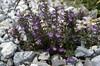 Acinos alpina (Passo di croce Dómini)