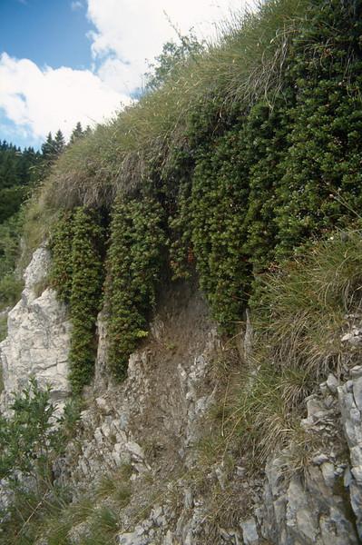 Habitat with Arctostaphylos uva-ursi (Passo di croce Dómini)