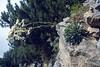 Saxifraga hostii ssp. rheatica (Passo di croce Dómini)