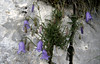 Campanula cochlearifolia (Monte Tremalzo)