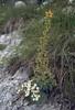 Saxifraga mutata and S. caesia (Cima Tombea)
