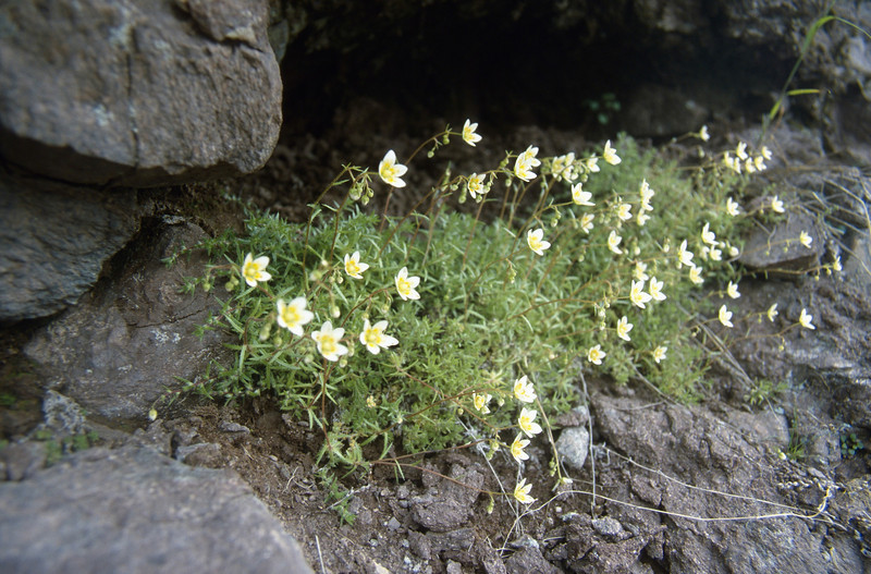 Saxifraga aspera (Passo di Maniva ~2000m)