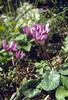 Cyclamen purpurascens (Passo di croce Dómini)