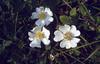 Rosa pimpinellifolia (Cima Tombea)