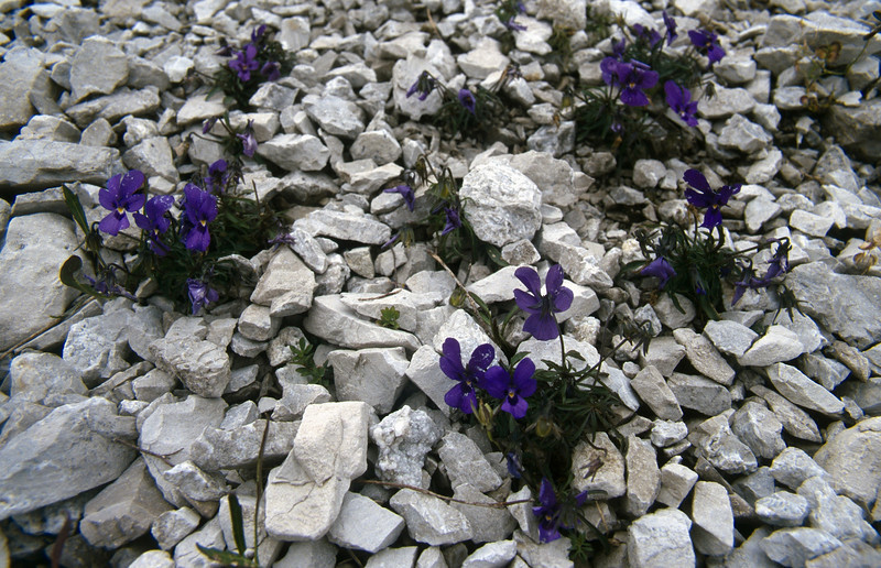 Habitat of Viola dubyana (Cima Tombea 1950m)