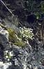 Saxifraga petraea (Crevices in limestone beneath Cima Tombea)