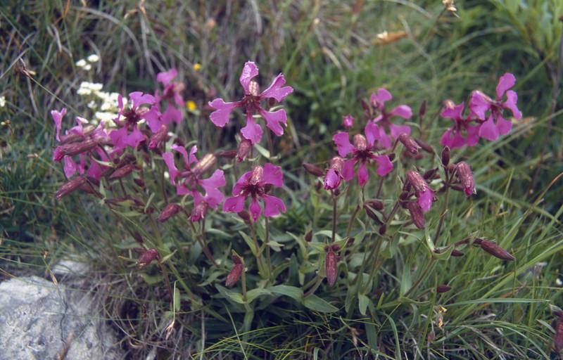 Silene elisabethae (Cima Tombea 1950m)
