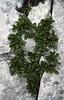 Rhamnus pumila (Monte Tremalzo)