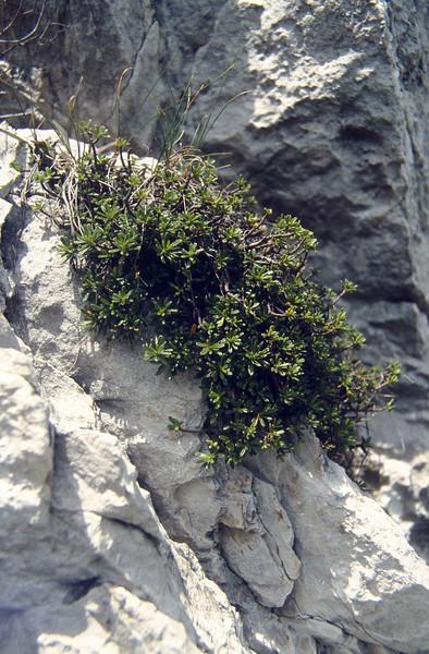Daphne petraea (Passo di croce Dómini)