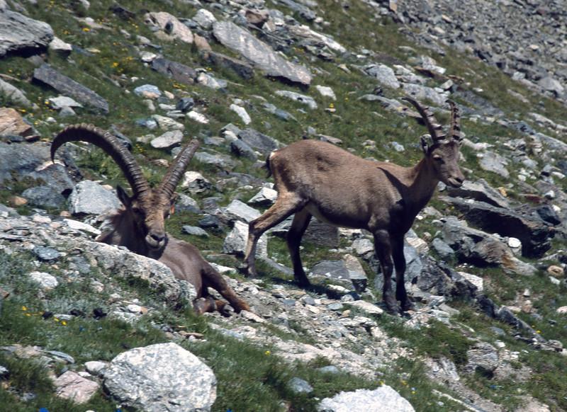 Capra ibex (NL: steenbok) (Col Lauson 2880m