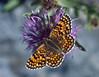 Centaurea nervosa and Melitaea spec. (NL: parelmoervlinder)