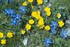Gentiana verna and Ranunculus montana