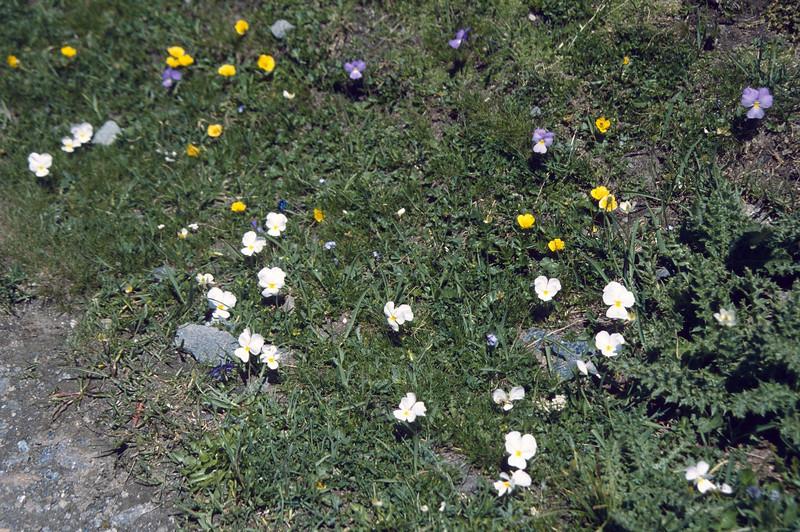"""habitat of Viola calcarata and V.calcarata var. """"Alba"""""""