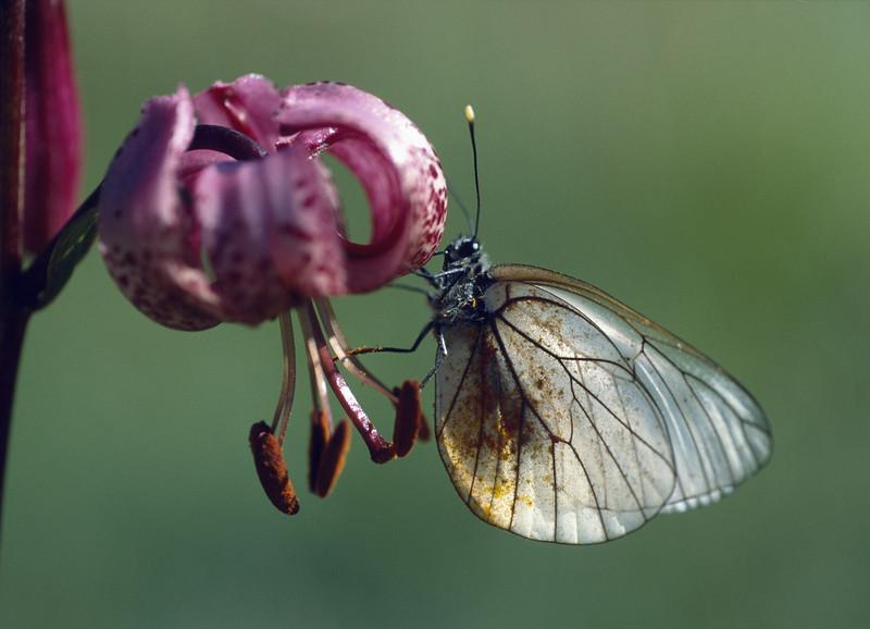 close up Lilium martagon and artogeia napi,(klein geaderd witje)