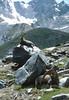 a tired Capra ibex (NL: vermoeide steenbok) (Col Lauson 2880m