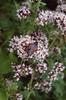 Zygaena filipendulae on Origanum vulgare