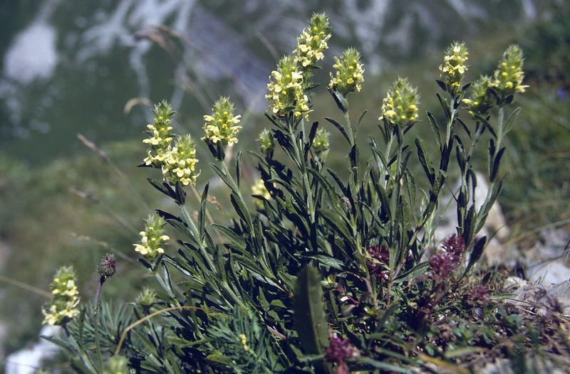 Sidiritis hyssopifolia