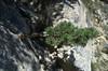 Pinus spec