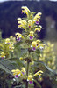 Galopsis speciosa (Julian Alps, Slovenia)