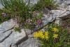 Daphne striata and Anthyllis vulneraria ssp. carpatica