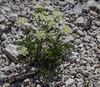 Trinia glauca ssp. carniolica ?