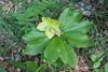 Helleborus niger ssp. niger