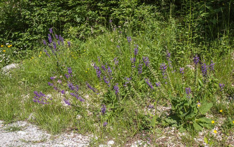 Salvia pratensis ssp. pratensis