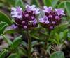 Thymus praecox ssp. polytrichus