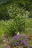 Vincetoxicum hirundinaria and Acinos alpinus