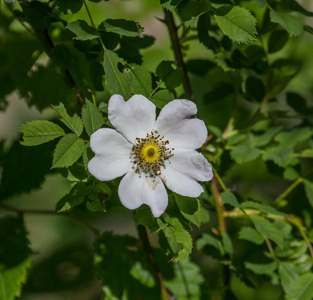 Rosa cf corymbifera