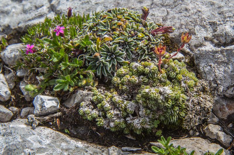 Silene acaulis, Saxifraga crustata  and Saxifraga burseriana
