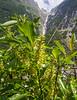 Salix waldsteiniana